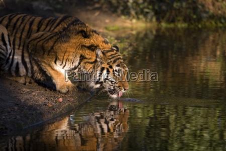 sibirian, tiger - 205764