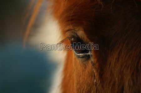 pferdeauge, 1 - 207789
