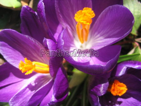 primer plano jardin primavera azafran purpura