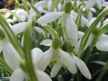 garden blossoms spring flower plant snowdrop