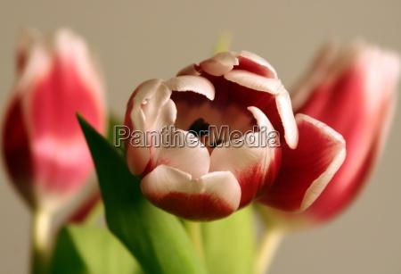 tulips - 209599