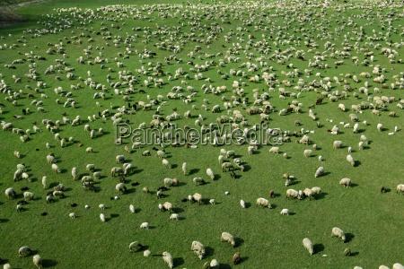flock, of, sheep - 211661