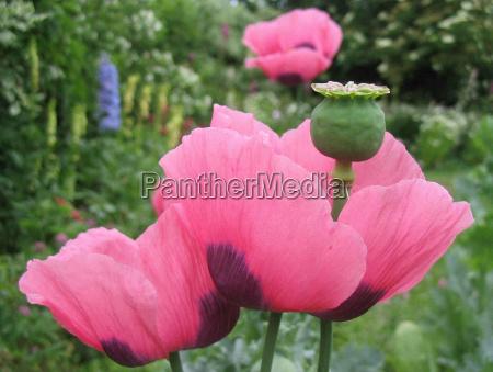 jardin flores amapola planta cama jardines