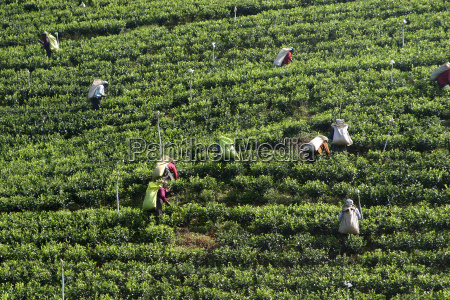 tea, pickers - 213177