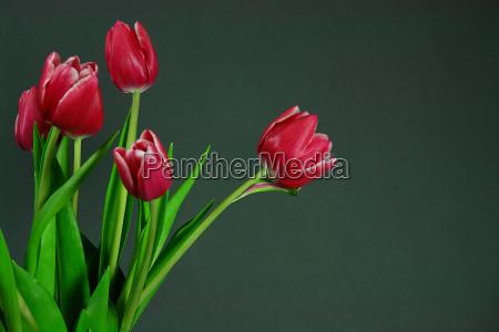 tulips, i - 214703