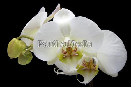 orchid, phalaenopsis - 217713