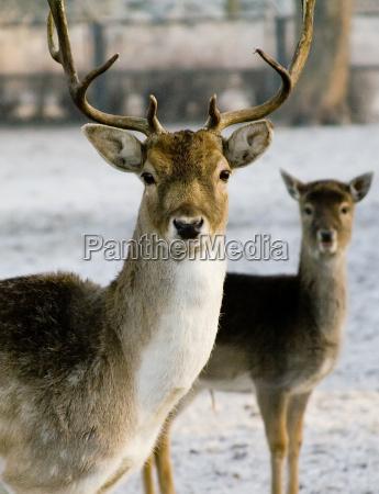 fallow, deer - 218226
