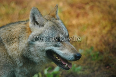 wolf, (canis, lupus) - 220863