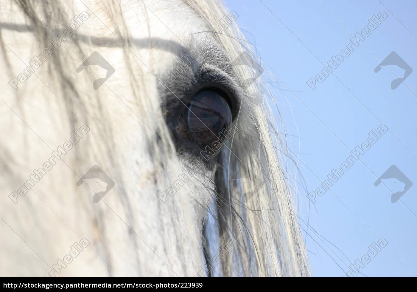 pferdeauge - 223939
