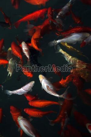 goldfish - 224535