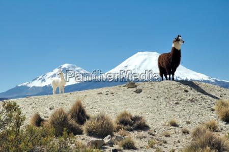 alpacas, in, chile - 228005