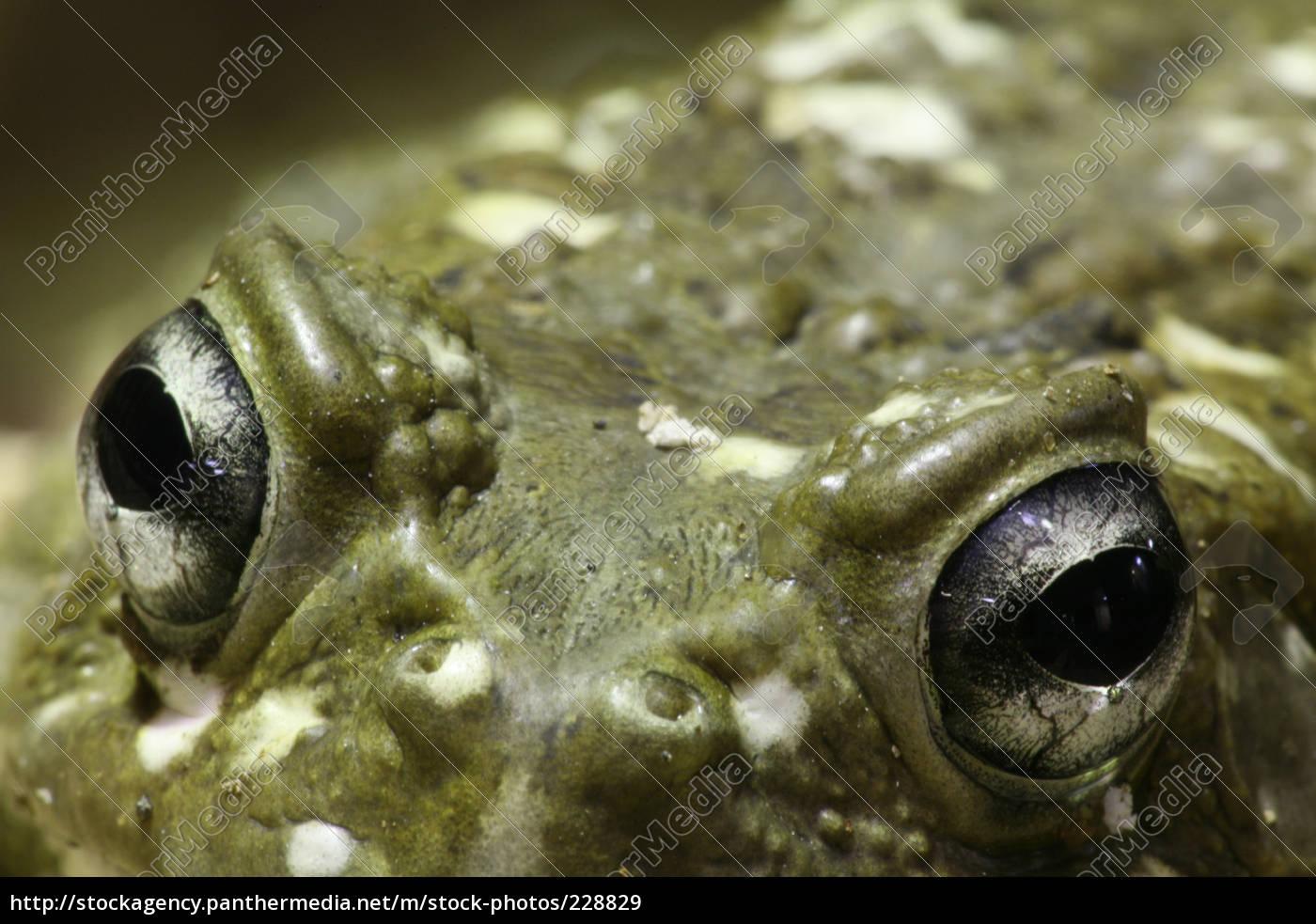 frog, eyes - 228829