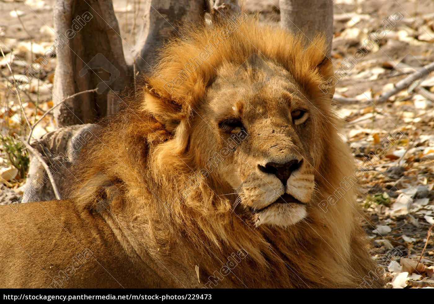 king, of, the, kalahari - 229473