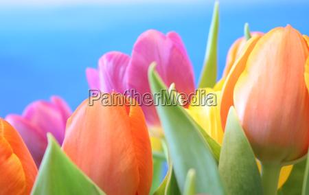 tulpenmeer - 229167