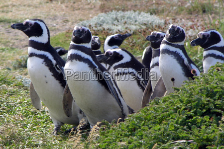 magellan, penguins - 230748