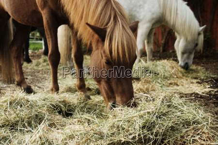 eat iceland horses when hay