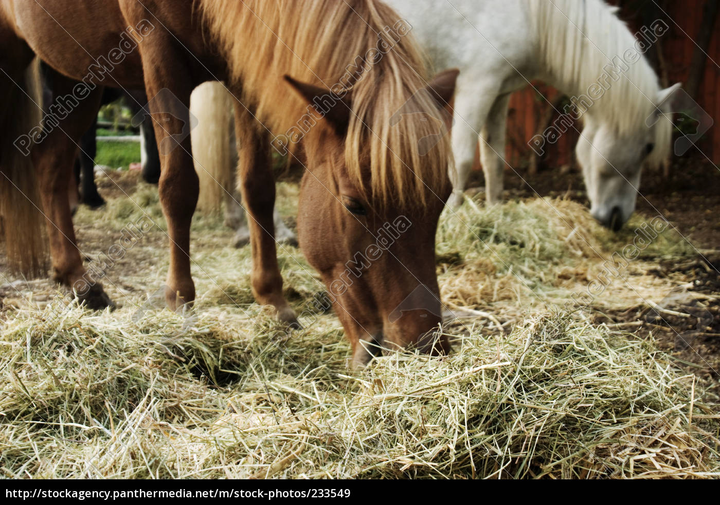 eat, iceland, horses, when, hay - 233549