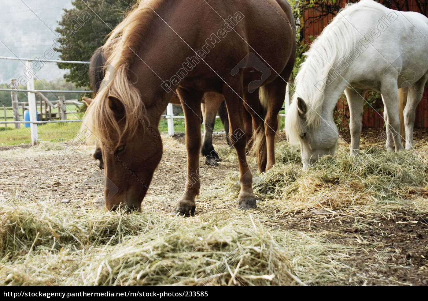 eat, iceland, horses, when, hay - 233585
