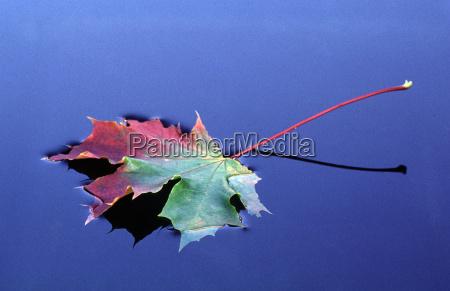 maple, leaf, on, water - 233625