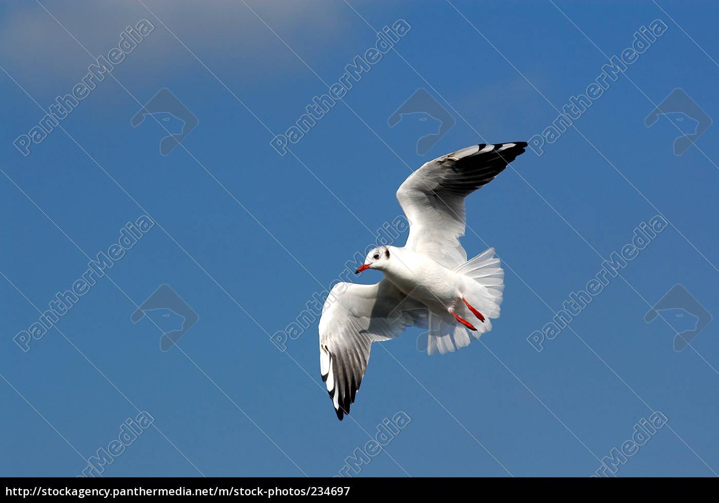 black-headed, gull - 234697