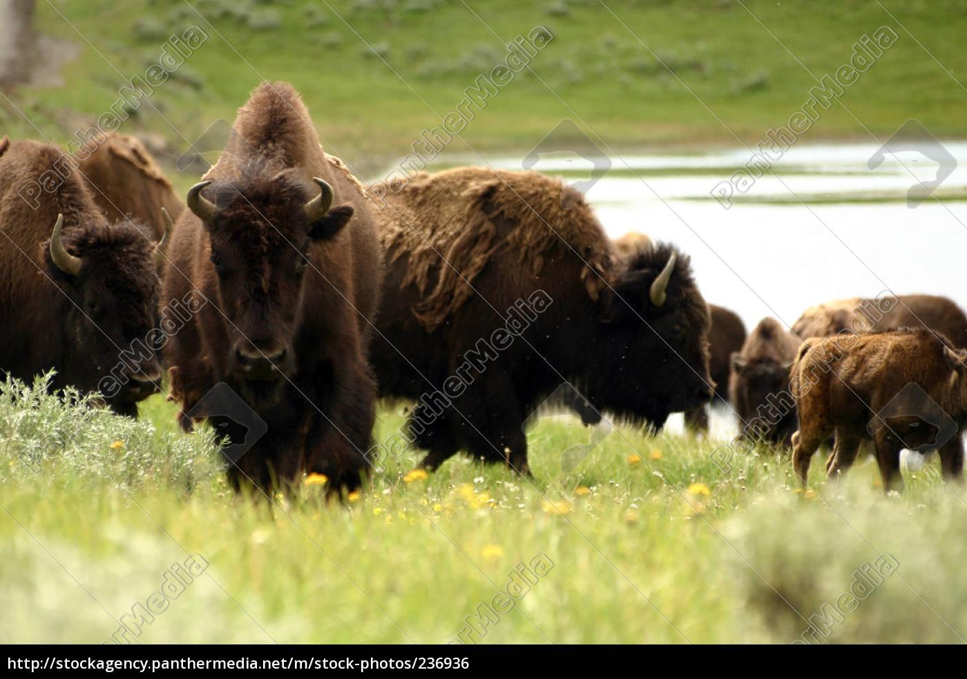 bison, herd - 236936