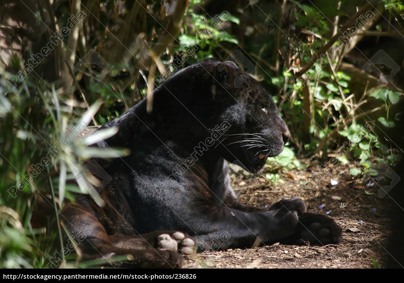 panther, without, media - 236826