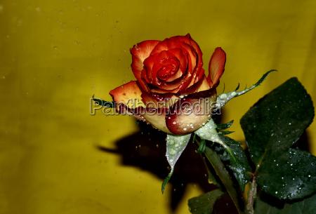 rose in the rain