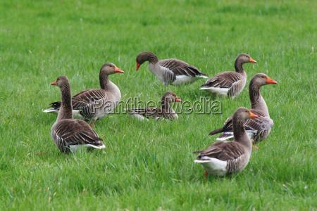 ring tailed greylag geese wildlife