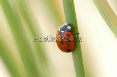 ladybug in duenengras