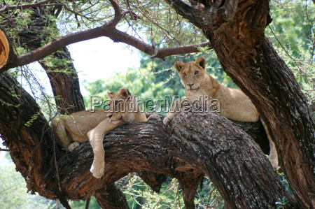 lions on trees