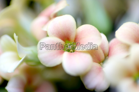 flower, -, 1 - 242606