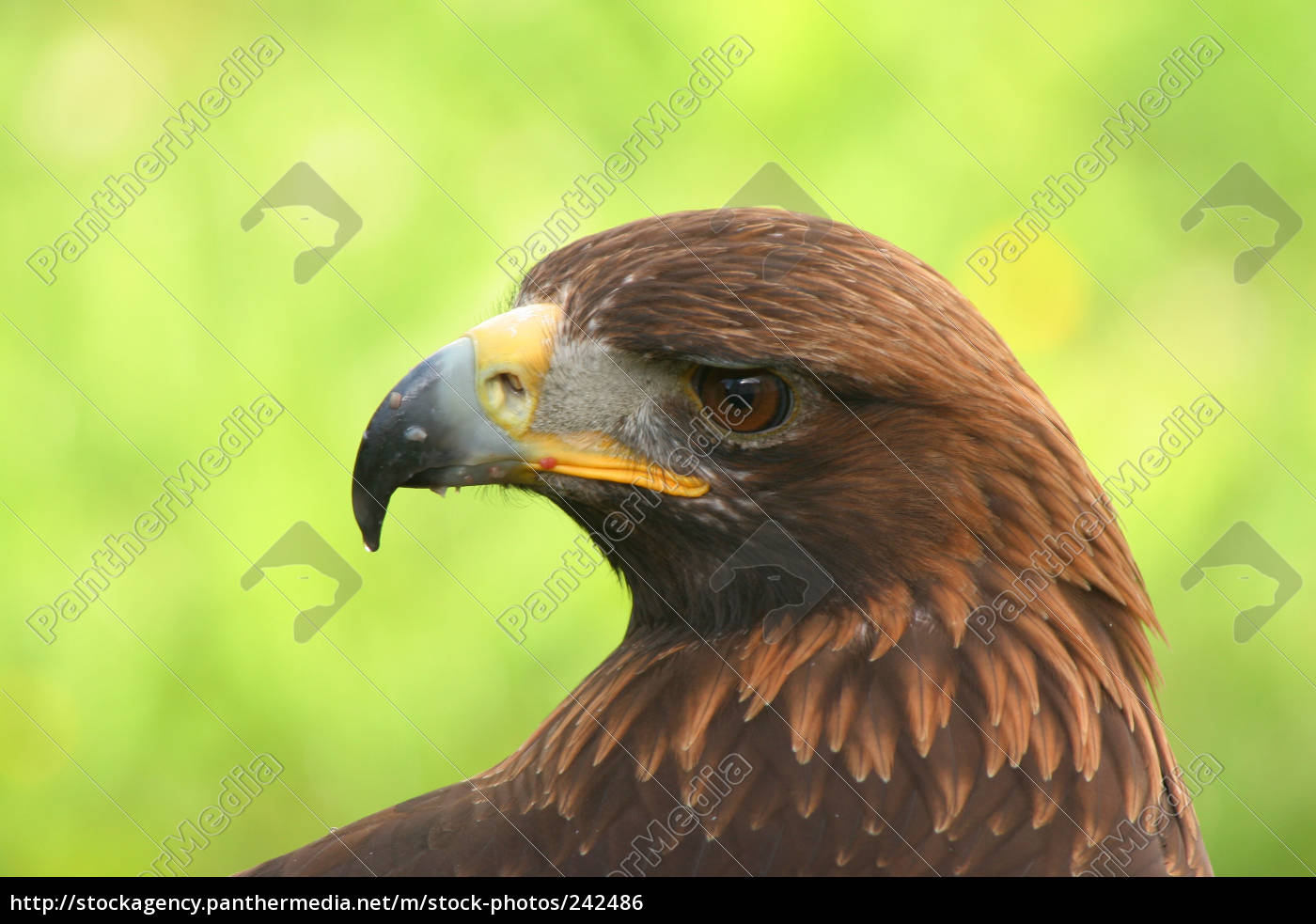 golden, eagle - 242486