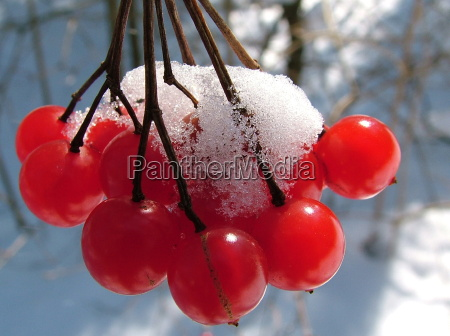 red snowberries