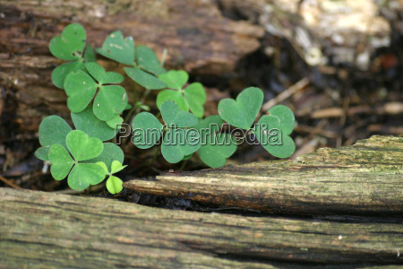 forest clover
