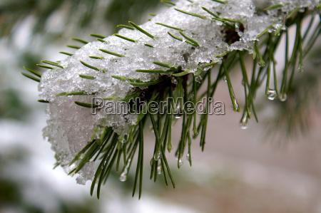 tannenzweig, in, the, winter - 251551