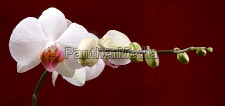 orchidaceae, (12) - 252026