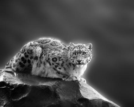 snow cheetah 2