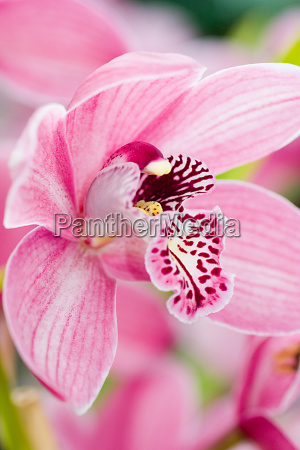 pink, orchid - 254776