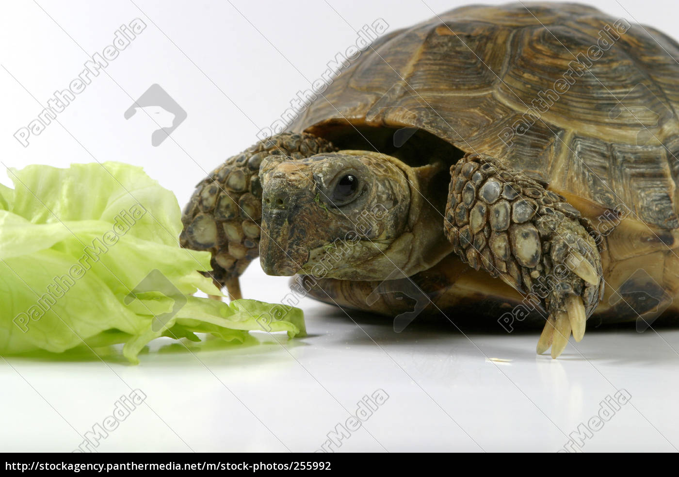 turtle, erste - 255992