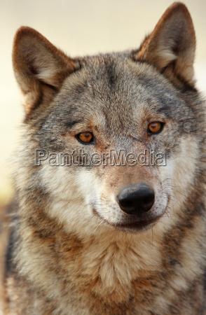 wolf - 257980
