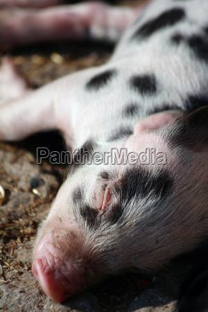 turopolje, pigs - 258049