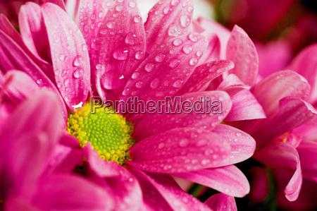 wet, chrysanthemum, i - 262909