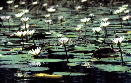water lilies in the okavango