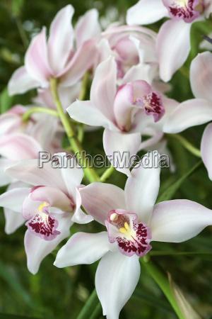cymbidium, orchid - 267224