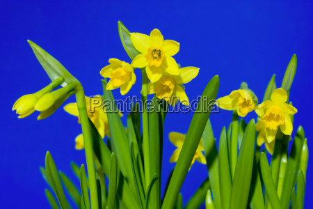 daffodils - 267877