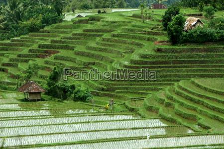 rice, fields - 268235
