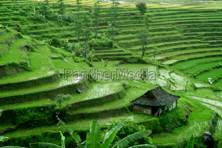 rice, terraces - 268243