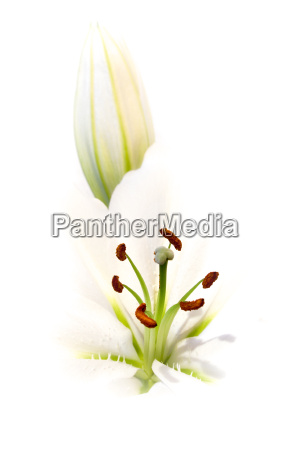 white, lily - 271843