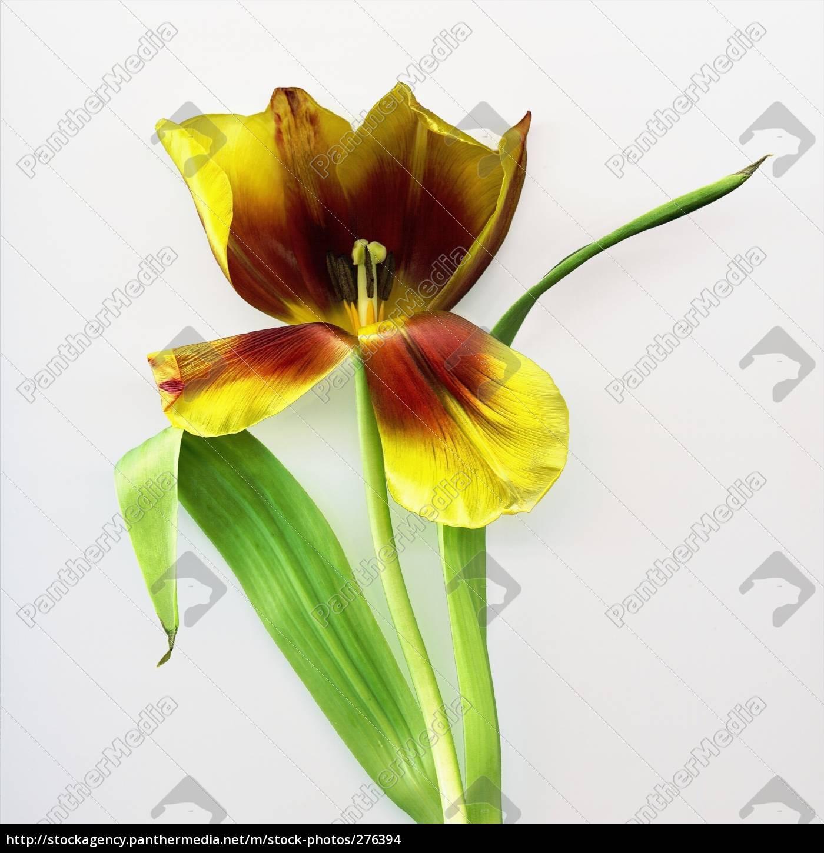 tulip, i - 276394