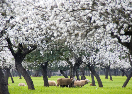 almond, blossom, with, sheep - 277459